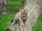 Tigerbaby im Tierpark Thüle