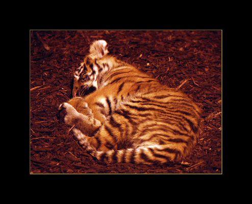 Tigerbaby in Schönbrunn