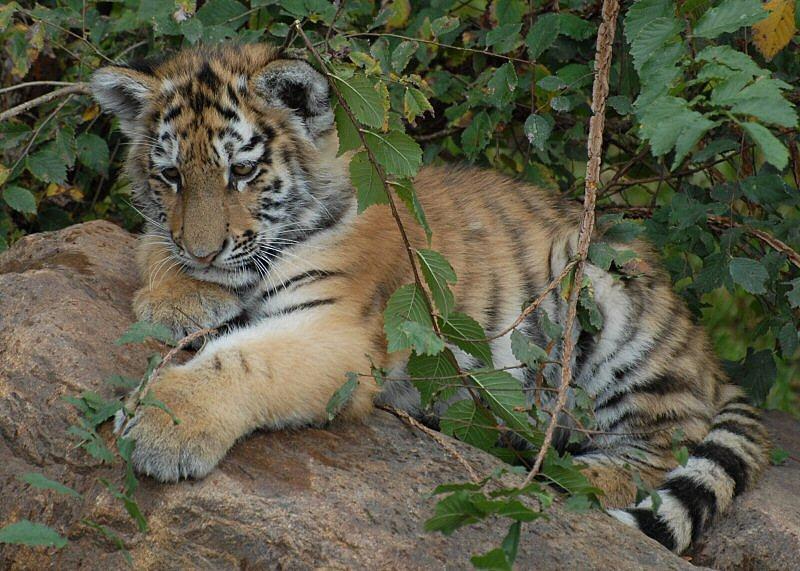 Tigerbaby Zoo Leipzig