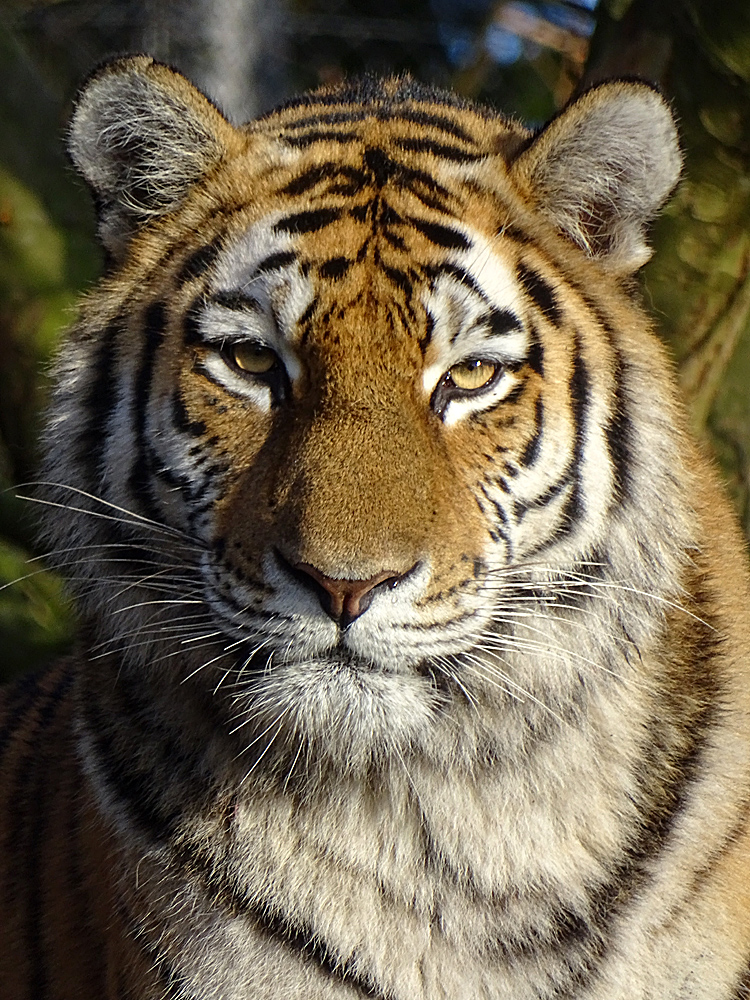 Tigerblick