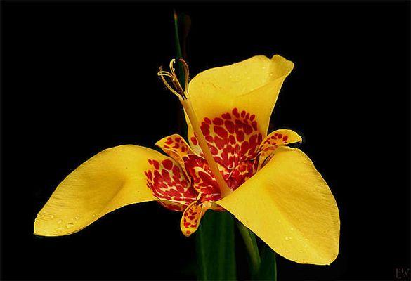 Tigerblume oder auch Pfauenblume, Pfauenlile 'Canariensis' (Tigridia pavonia)