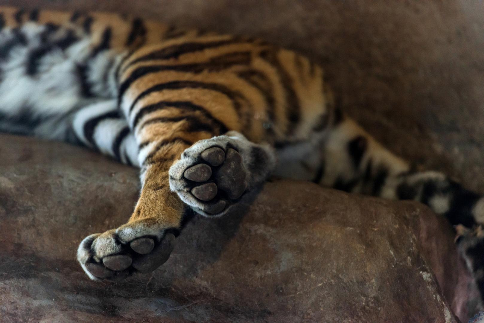 Tigerchens Mittagsschlaf
