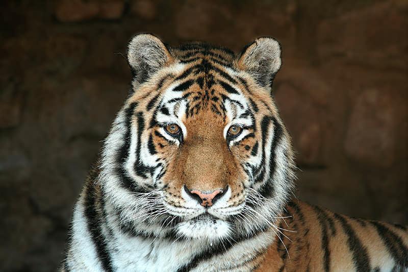 Tigerdame