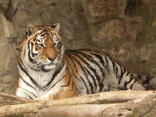 Tigerdame im Zoo Aschersleben