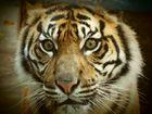 """ Tigerface """