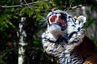 Tigergebiss