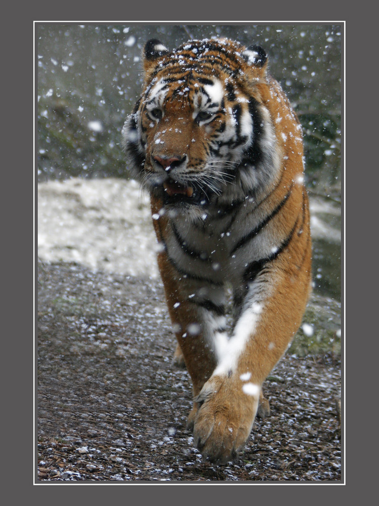 TigerimSchneegestöber