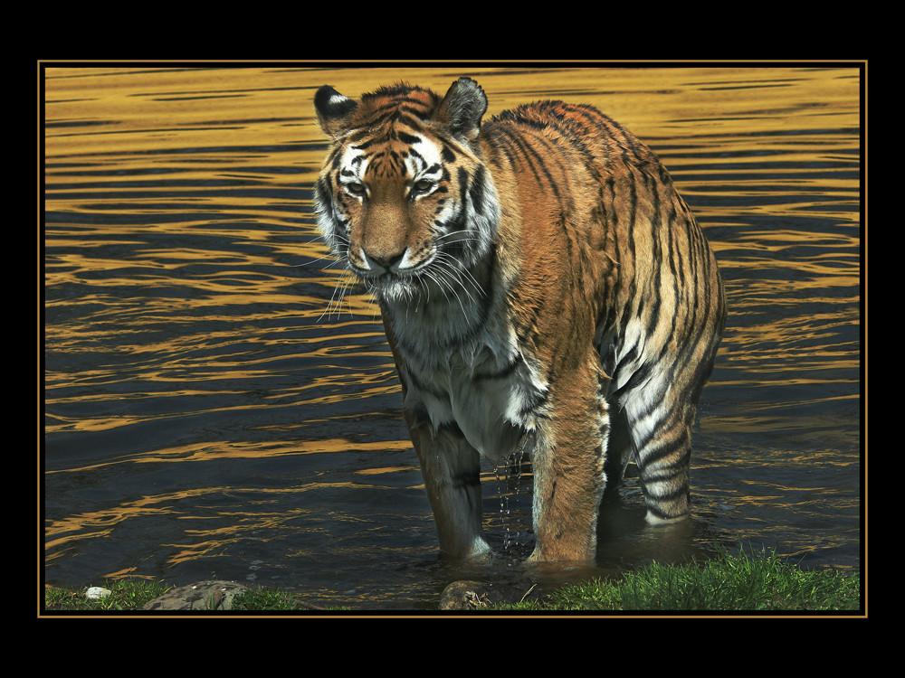 TigerimSee