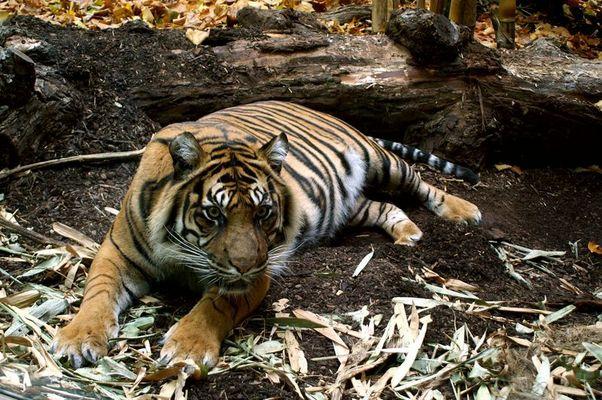 Tigerin aus Frankfurt