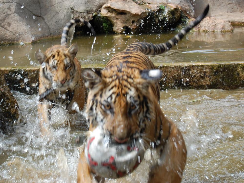 Tigerjagd in Thailand