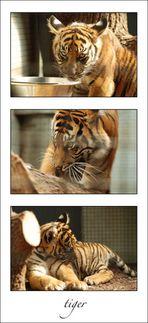 tigerjunge