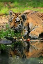 Tigerjunges ( 4 Monate)
