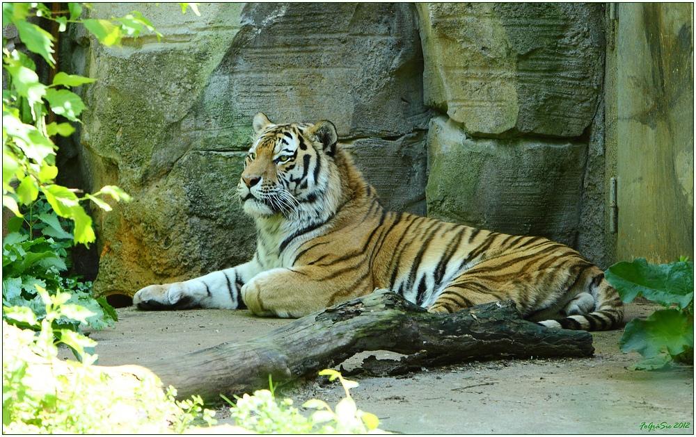 * Tigerkater *