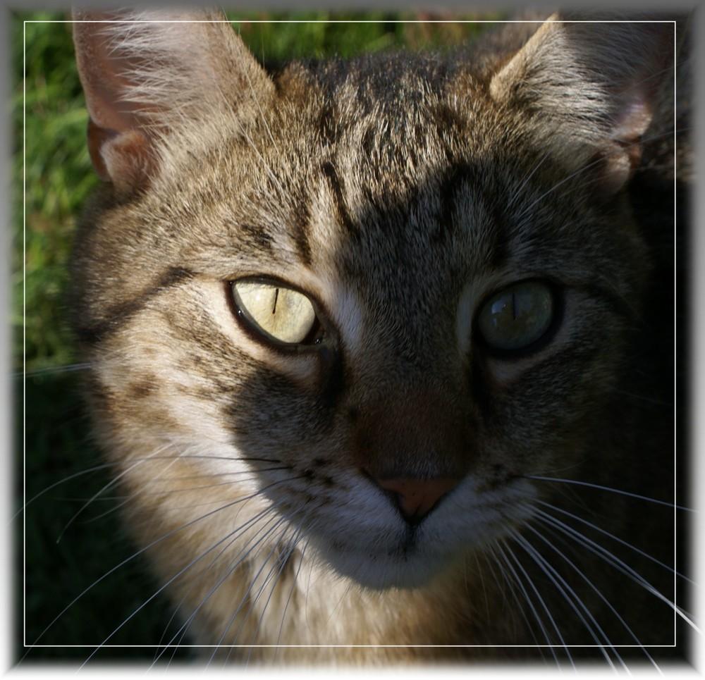 Tigerkater Herbert