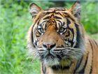 Tigerkater Joao