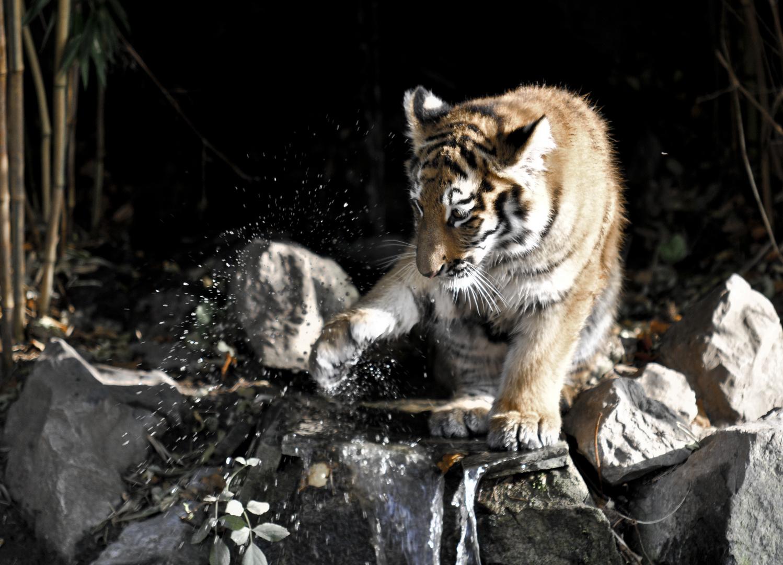 Tigerkind 2