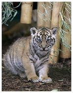 Tigerkind