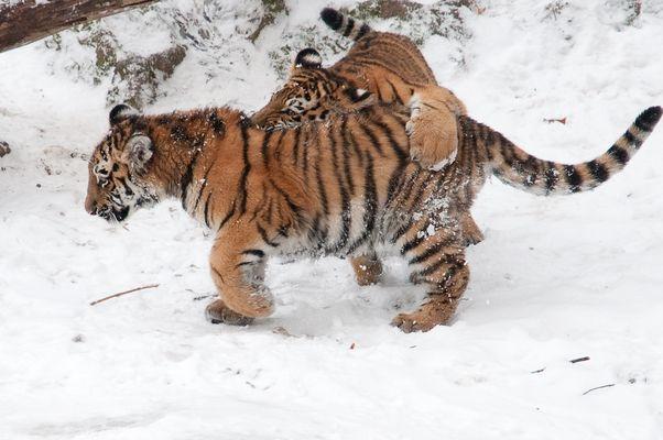 Tigerkinder