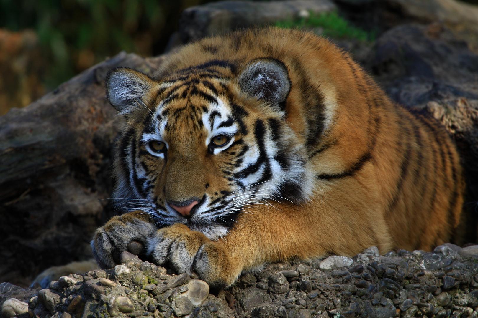 Tigerlady