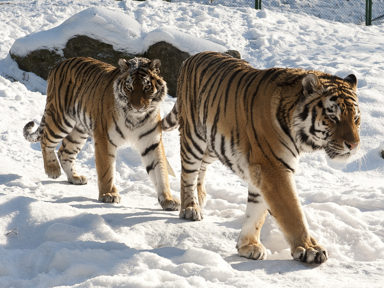 Tigerlauf