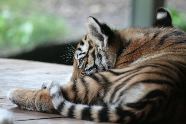 Tigerleben