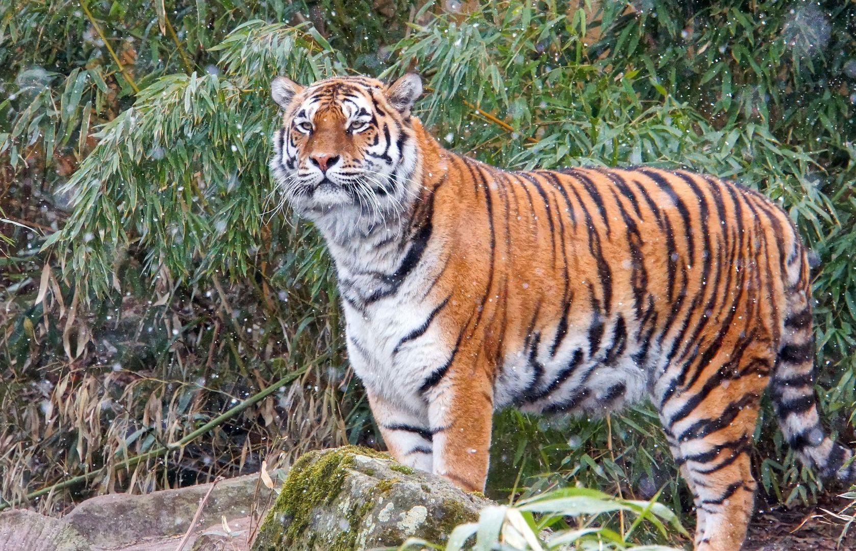 """""""Tigerlife"""""""