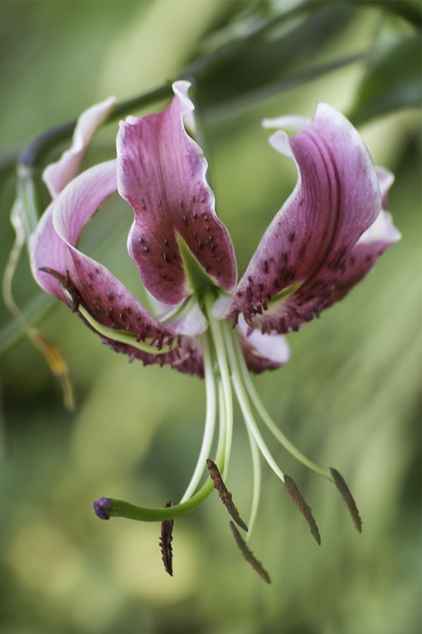 Tigerlilie