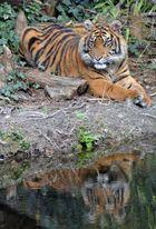 Tigermädchen