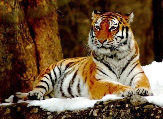 Tigermama Zoo Hellabrunn