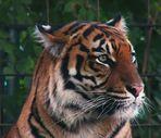 Tigermutter im Krefelder Zoo