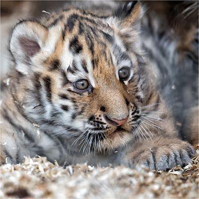 Tigernachwuchs in Ströhen.....
