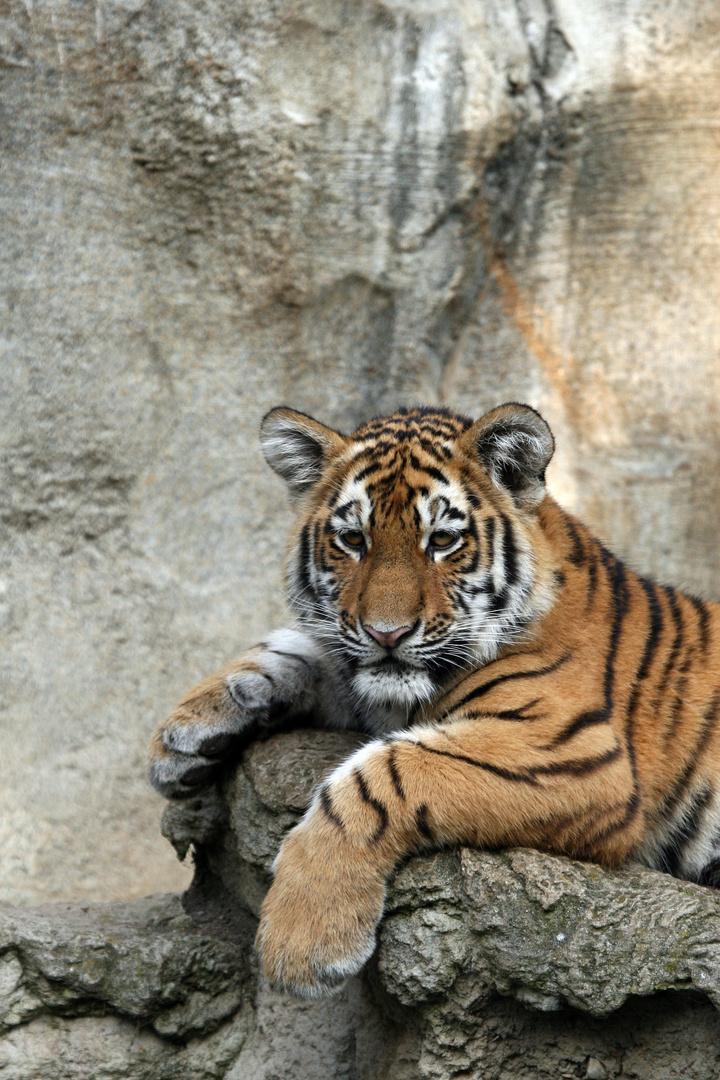 Tigernachwuchs_4