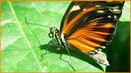 Tigerpassionsfalter / auf Insel Mainau