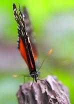 Tigerpassionsfalter Frontporträt