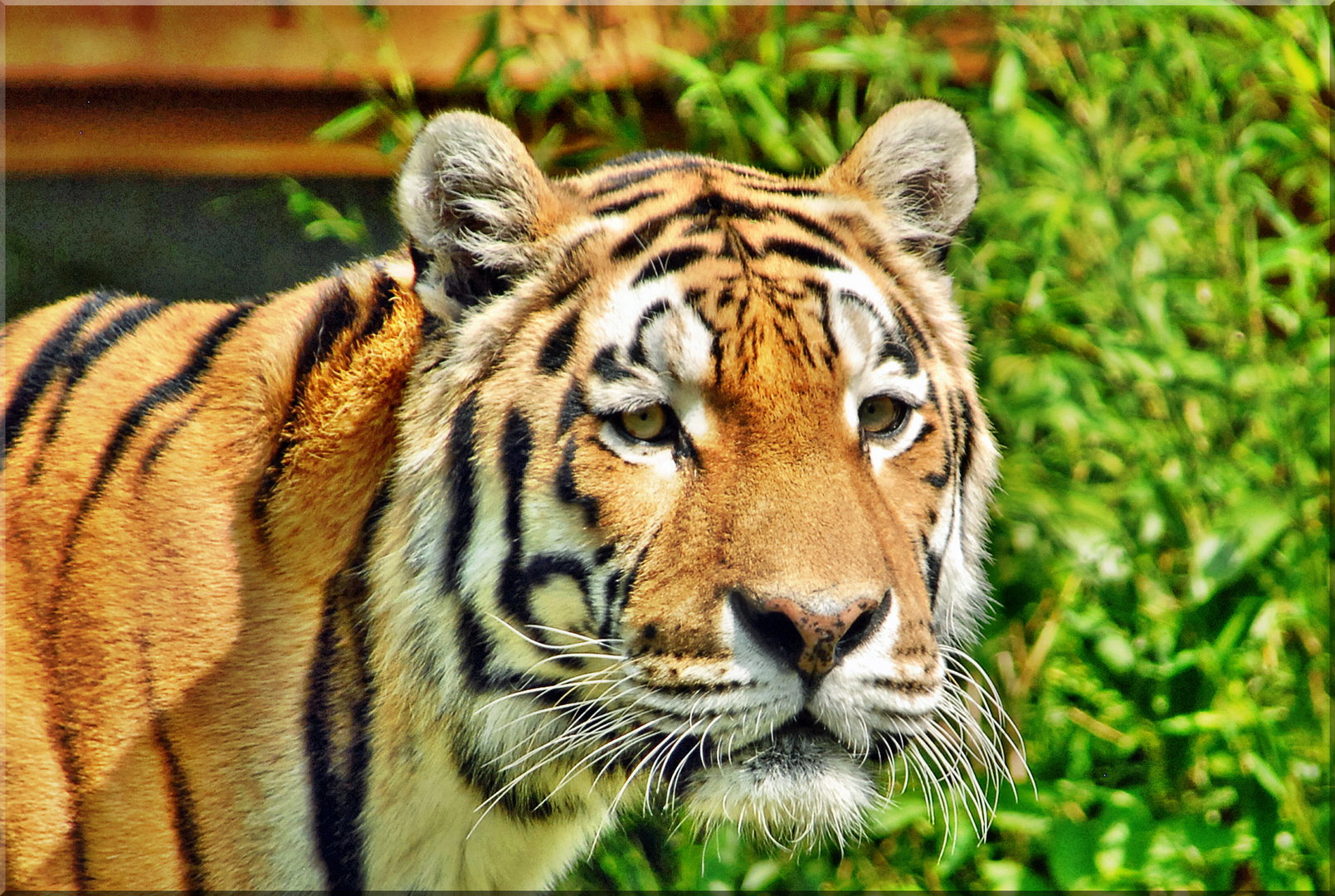 Tigerportrait