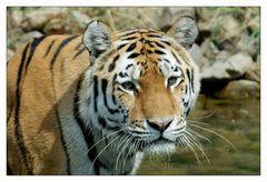 [ Tigerportrait ]