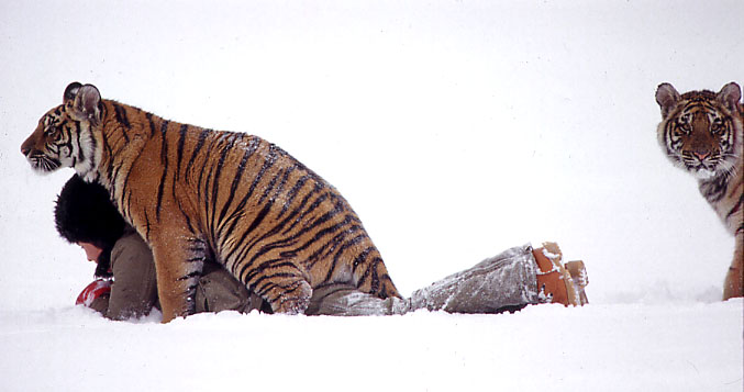 Tigers in Dalecarlia wood, Sweden