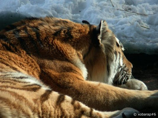 Tigerschläfchen