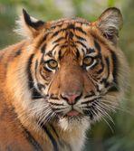 Tigerschönheit......