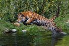 Tigersprung