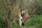 Tigertag No. 3