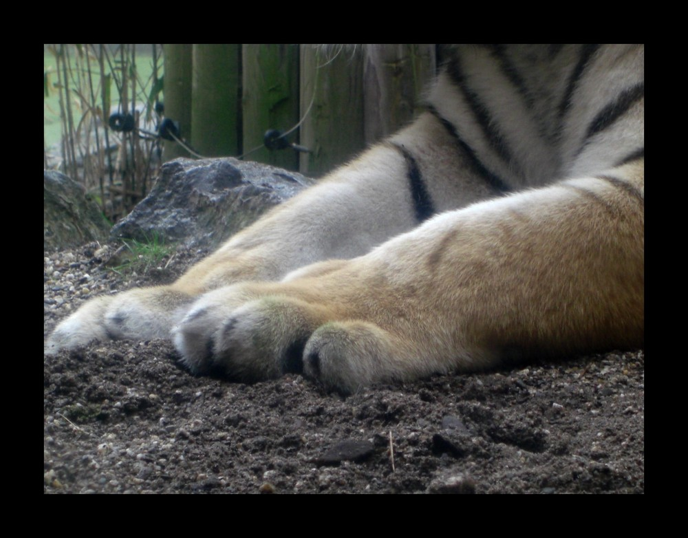 Tigertatze