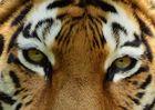 Tigerträne ......