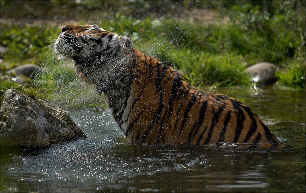 Tigerwäsche