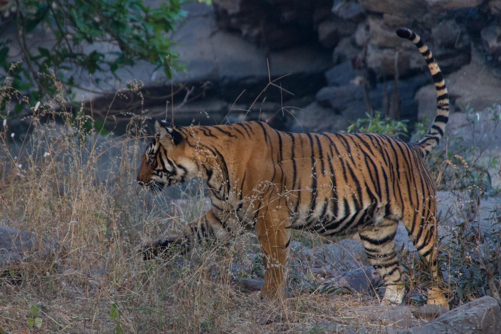 Tigerweibchen-2; Ranthambore Nationalpark