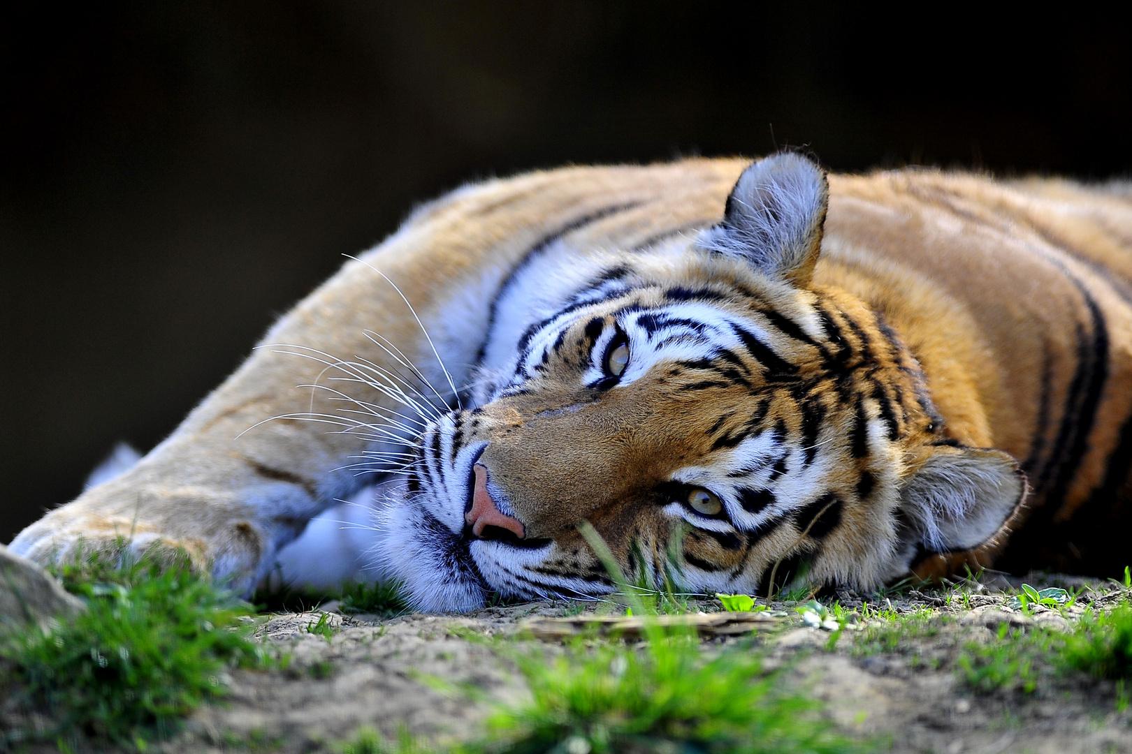 Tigerweibchen bei Jürg Jenny's Raubkatzen