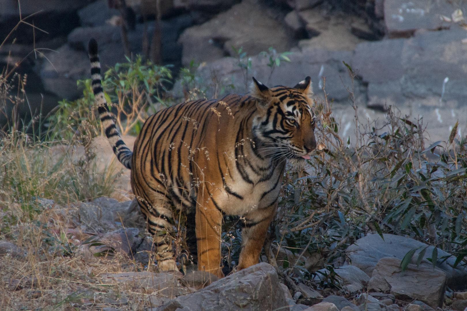 Tigerweibchen; Ranthambore Nationalpark