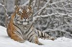Tigerwetter....