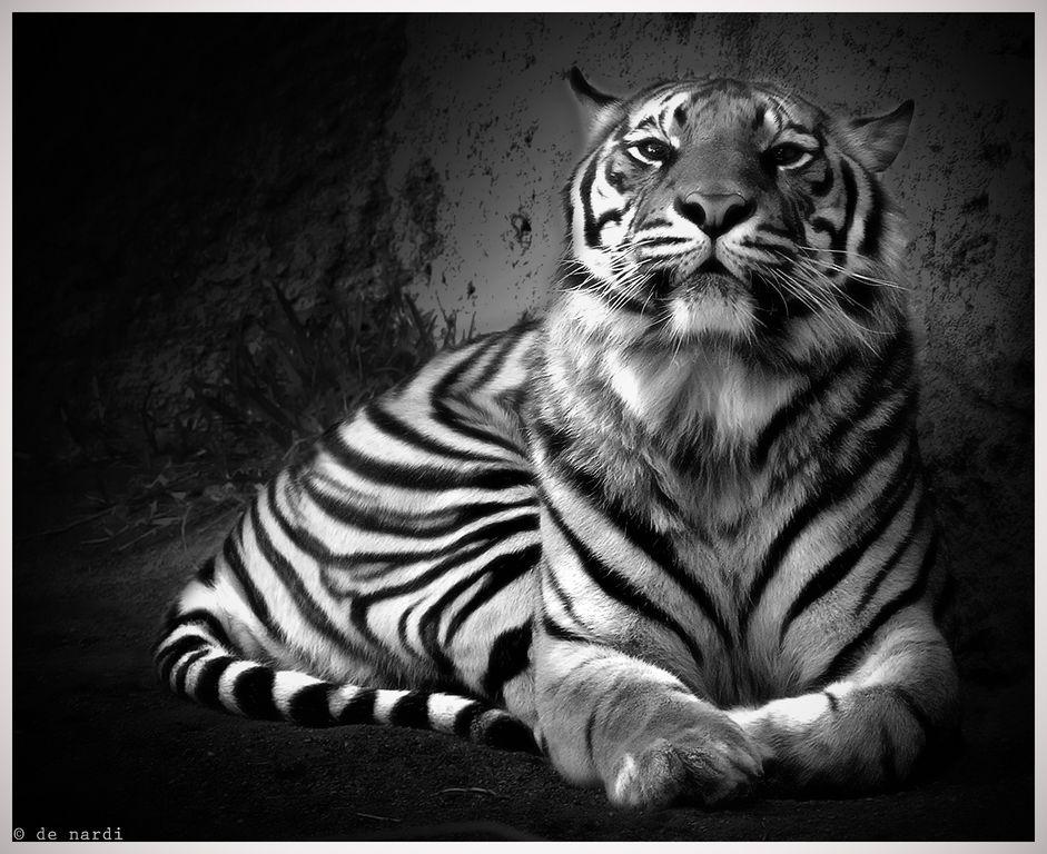 tigre au zoo badamadena (espagne)