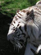 Tigre blanc 2